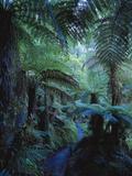 New Zealand, Rainforest, Vegetation, Tree Ferns, Cyatheaceae Photographic Print by  Thonig
