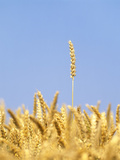 Wheat Field, Triticum Aestivum, Ears, Sky, Blue Photographic Print by Herbert Kehrer