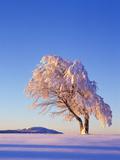 Copper Beech, Fagus Sylvatica, Snow-Covered, Morning Light, Leafless Photographic Print by Herbert Kehrer