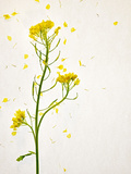 White Mustard, Mustard, Sinapis Alba, Stalk, Blossoms, Yellow Photographic Print by Axel Killian