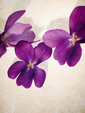 Sweet Violets, Violets, Viola Odorata, Blossoms, Violet Photographic Print by Axel Killian