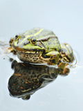 Small Pool Frog, Water, Mirroring, Frontal Photographic Print by Harald Kroiss