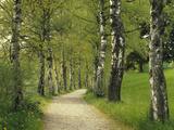Weg, Birken, Allee, Frv¼hling, Natur, Waldweg, Birkenallee Fotografisk tryk af  Thonig