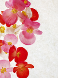 Begonia Semperflorens, Blossoms, Pink, Red, White, Yellow Photographic Print by Axel Killian