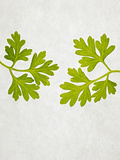 Chervil, Culinary Chervil, Anthriscus Cerefolium, Leaves, Green Photographic Print by Axel Killian