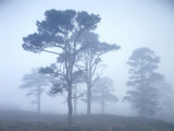Pine Trees, Fog Photographic Print by  Thonig