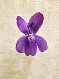 Sweet Violets, Violets, Viola Odorata, Blossom, Violet Photographic Print by Axel Killian