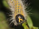 Caterpillar, Buff-Tip Photographic Print by Harald Kroiss