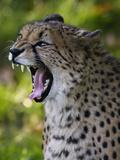 Cheetah, Acinonyx Jubatus, Male, Yawninging Photographic Print by Andreas Keil