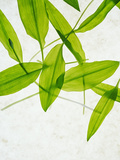 Wild Garlic, Allium Ursinum, Leaves, Green Photographic Print by Axel Killian