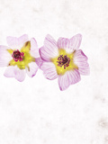 Musk Mallow, Mallow, Malva Moschata, Blossoms, Rose, Yellow Photographic Print by Axel Killian
