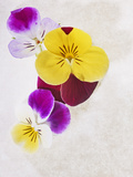 Horned Violets, Violets, Viola Cornuta, Blossoms, Colour Photographic Print by Axel Killian