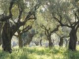 Greece, Olive Grove Fotografisk tryk af Thonig
