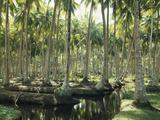 Thonig - Sri Lanka, Coconut Palm Plantation Fotografická reprodukce