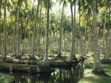 Sri Lanka, Coconut Palm Plantation Photographic Print by  Thonig