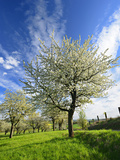 Blossoming Trees on Orchard Meadow, Freyburg, Burgenlandkreis, Germany Photographic Print by Andreas Vitting