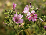 Common Mallow, Malva Silvestris, Blooms Photographic Print by  Thonig
