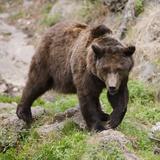 European Brown Bear, Ursus Arctos Arctos Photographic Print by Andreas Keil