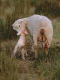 Neuseeland, Schaf, Lamm, Geburt, Schafe, Mutter, Lv¤Mmchen Photographic Print by  Thonig