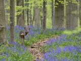Belgium, Flanders, 'Hallerbos' (Forest), Roe Deer, Capreolus Capreolus Photographic Print by Andreas Keil