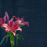 Lily, Daylily, Flower, Blossom, Plant, Still Life, Blue, Pink, Red Photographic Print by Axel Killian