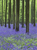 Belgium, Hallerbos, Beech Forest, Bluebells, Fern Photographic Print by Andreas Keil