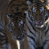Siberian Tigers, Panthera Tigris Altaica, Subadults Photographic Print by Andreas Keil