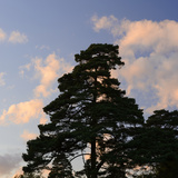 Germany, North Rhine-Westphalia, Wahner Moor, Pine in Front of Evening Sky Photographic Print by Andreas Keil