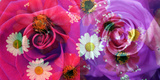 Floral Montages of Rose Blossoms Photographic Print by Alaya Gadeh