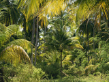 Thonig - Palm Grove, Coconut Trees Fotografická reprodukce