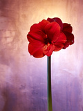 Amaryllis, Flower, Blossom, Still Life, Red, Violet Photographic Print by Axel Killian