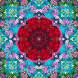 A Mandala from Flower Photographs and Water Photographic Print by Alaya Gadeh