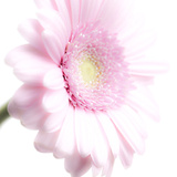 Gerbera in Rose Photographic Print by Uwe Merkel