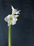 Amaryllis, Flower, Blossom, Still Life, White Photographic Print by Axel Killian