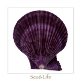 Maritime Still Life with Scallop Photographic Print by Uwe Merkel