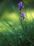 Iris, Close-Up, Blur Photographic Print by Andreas Keil