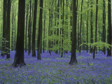 Belgium, Hallerbos, Beech Forest, Bluebells Photographic Print by Andreas Keil