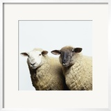 Sheep Standing Side by Side Poster by Adrian Burke