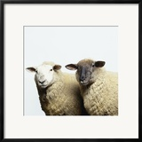 Sheep Standing Side by Side Posters by Adrian Burke