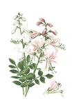 Botanical Drawing of Pink and White Burning Bush Flowers Prints