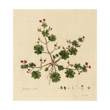 Pink Geranium with Green Leaves Prints