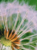 Macro Dandelion Flower Posters by  Wonderful Dream