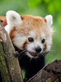Red Panda Bear Animal Art by  Wonderful Dream