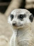 Meerkat Mammal Africa Animal Sztuka autor Wonderful Dream