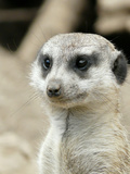 Meerkat Mammal Africa Animal Art by  Wonderful Dream