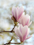 Magnolia Flower Bloom Prints by  Wonderful Dream