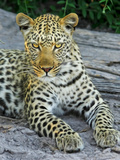Leopard Animal Cat Gepard Posters by  Wonderful Dream