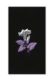 Single White Morning Glory Flower with Purple Leaves on Black Posters