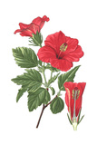 Deep Red Hibiscus with Shoe Flower Lettering Prints