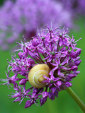 Purple Allium Flower Prints by  Wonderful Dream